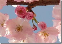 cherry-blossom-6414_640